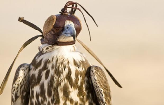 alternative flying falcons dubai